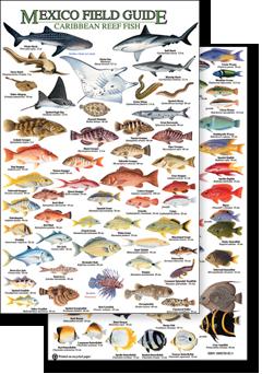 Caribbean fish identification related keywords caribbean for Caribbean reef fish